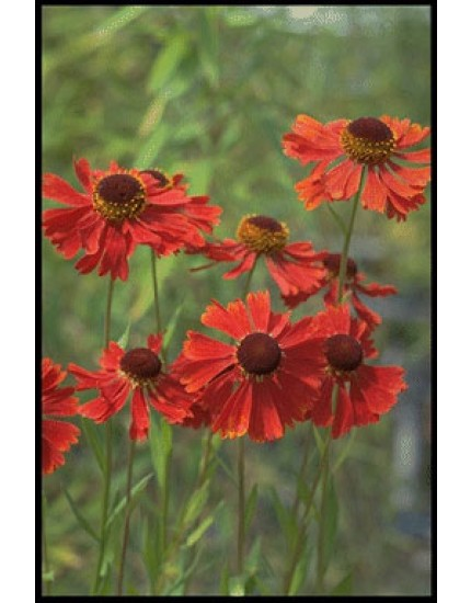 Helenium moerheim 'Beauty'