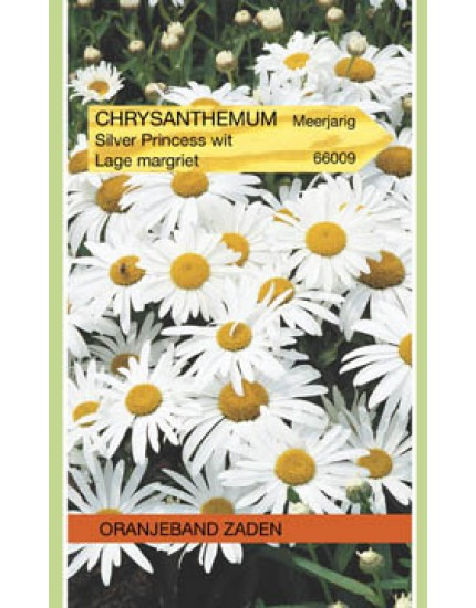 Chrysanthemum Little Princess