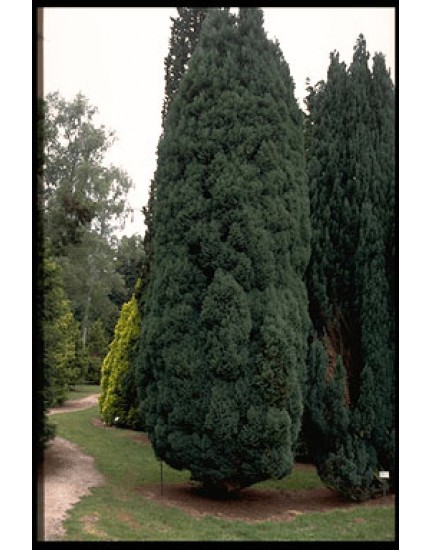 Chamaecyparis lawsoniana 'Fletcheri'