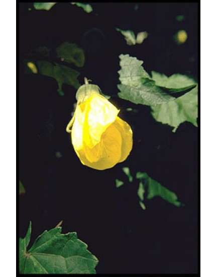 Abutilon 'Cloth of Gold'