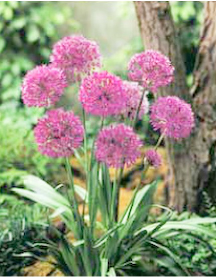 Allium aflat. 'Purple Sensation'