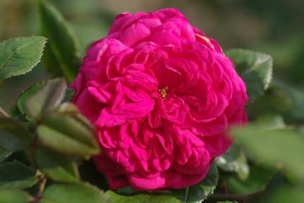 Rosa 'Laguna'