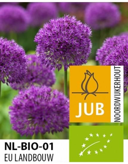Allium 'Purple Sensation' biologisch