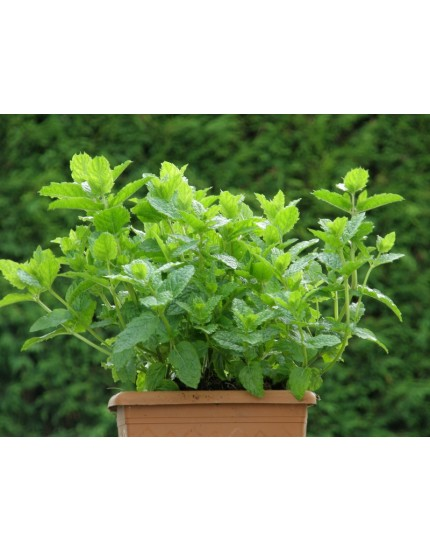 Mentha spicata 'Maroccan'