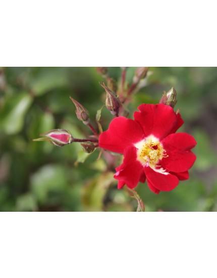 Rosa 'Symphonica'