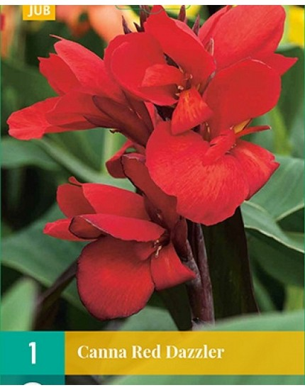 Canna 'Red Dazzler'