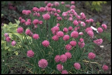 Allium schoenopr.'Forescate'