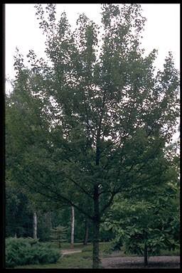 Acer campestre 'Elsrijk'