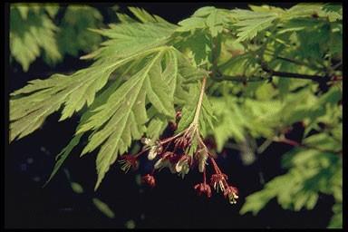 Acer japonicum 'Aconitifolium'