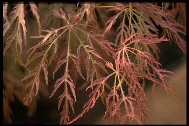 Acer palmatum 'Inabe-shidare'