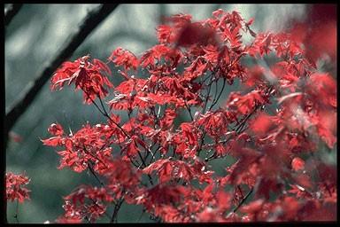 Acer palmatum 'Ornatum'