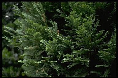 Chamaecyparis lawsoniana 'Alumigold'