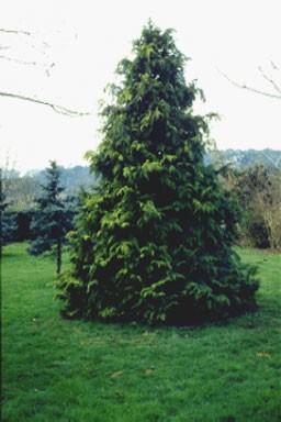 Chamaecyparis lawsoniana 'Stewartii'