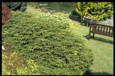 Juniperus sabina 'Tamariscifol