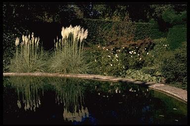 Cortaderia selloana 'Sunningdale Silver'