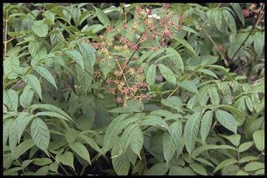 Aralia cachemirica