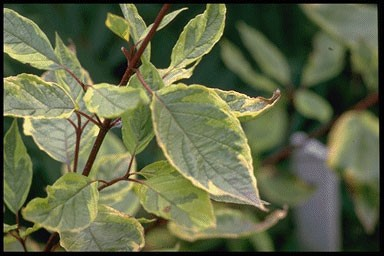 Cornus alba 'Spaethii'