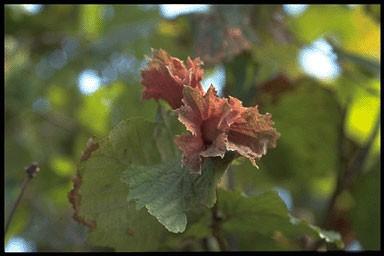 Corylus a. 'Rode Zellernoot'