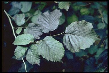Corylus maxima 'Purpurea'