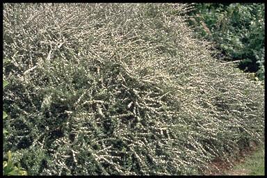 Cotoneaster conspicuus