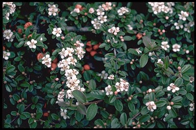 Cotoneaster damm. 'Major'