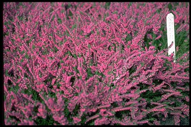 Calluna 'Garden Girls'
