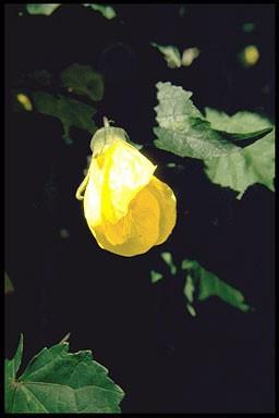 Abutilon 'Cloth of Gold'