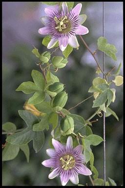 Passiflora 'Imperatrice Eugeni
