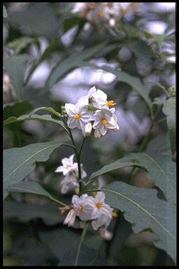 Solanum bonariense