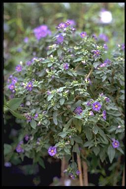 Solanum rantonnetii 'Charles White'