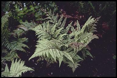 Athyrium othophorum 'Okanum'