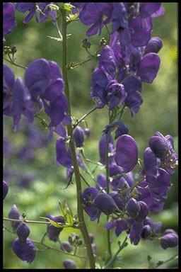 Aconitum cammarum 'Bressin Spire