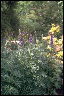 Aconitum napellus 'Newry Blue'