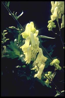 Aconitum septentrionale 'Ivorine'