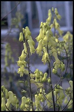 Aconitum vulparia