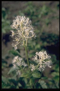 Actaea erythrocarpa 'Alba'