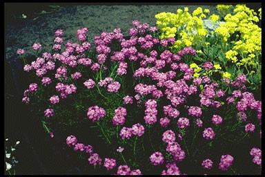 Aethionema armenum 'Warley Ruber'