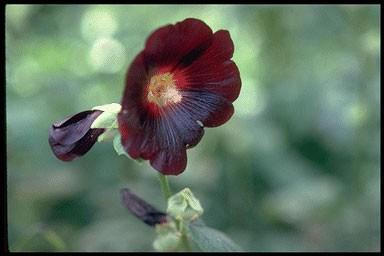 Alcea ficifolia var. nigra