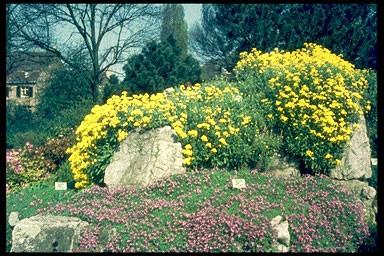 Aurinia (Alyssum) saxatile 'Compactum'