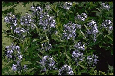 Amsonia salicifolia