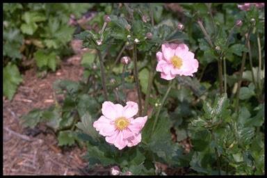 Anemone hybr. 'Kon. Charlotte'