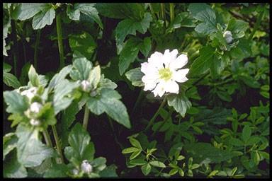 Anemone hybr. 'Whirlwind'