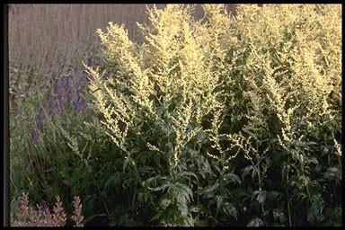 Artemisia lactiflora Rosa Schleier