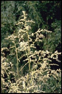 Artemisia lactiflora 'Guizho'