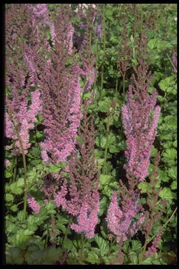 Astilbe chinensis 'Superba'