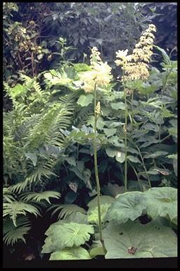 Astilboides tabularis