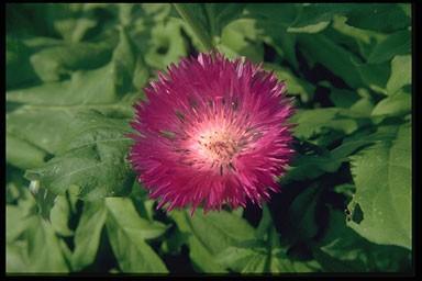Centaurea dealb. 'Steenbergii'