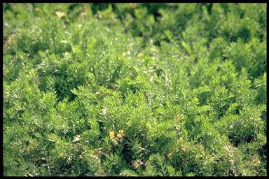 Chamaemelum nobile 'Treneague'