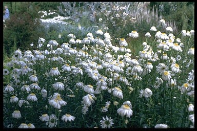 Chrysanthemum m. 'Wirral Supre