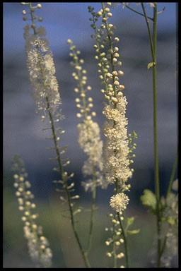 Actaea simplex 'White Pearl'